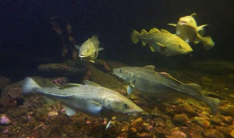 Cắt giảm 50% tổng sản lượng đánh bắt cá trích ở phía Tây biển Baltic